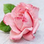 Зажим/Брошь цветок ROSE