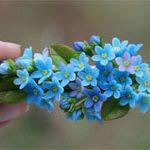 Заколка цветы Незабудки