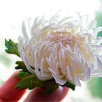 Резинка белая Хризантема